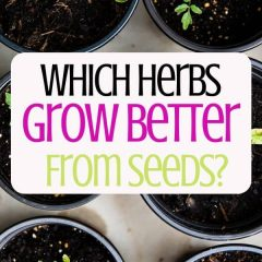 Which Herbs Grow Better From Seeds