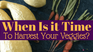 When is it time to harvest your garden veggies-
