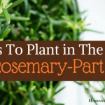 Herbs To Plant In The Fall -Part 1 Rosemary (3)