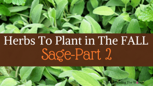 Herbs To Plant In The Fall -Part 2 Sage (1)