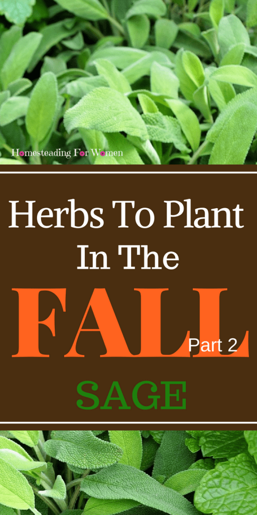 Herbs To Plant In The Fall -Part 2 Sage