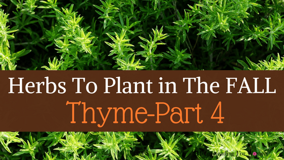 Herbs to plant in the fall part 4 thyme homesteading for women - Aromatic herbs pots multiple benefits ...