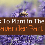 Herbs To Plant In The Fall -Part 3 Lavender