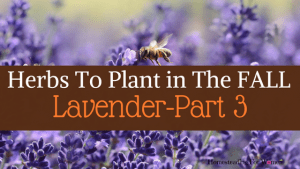 Herbs To Plant In The Fall Lavender