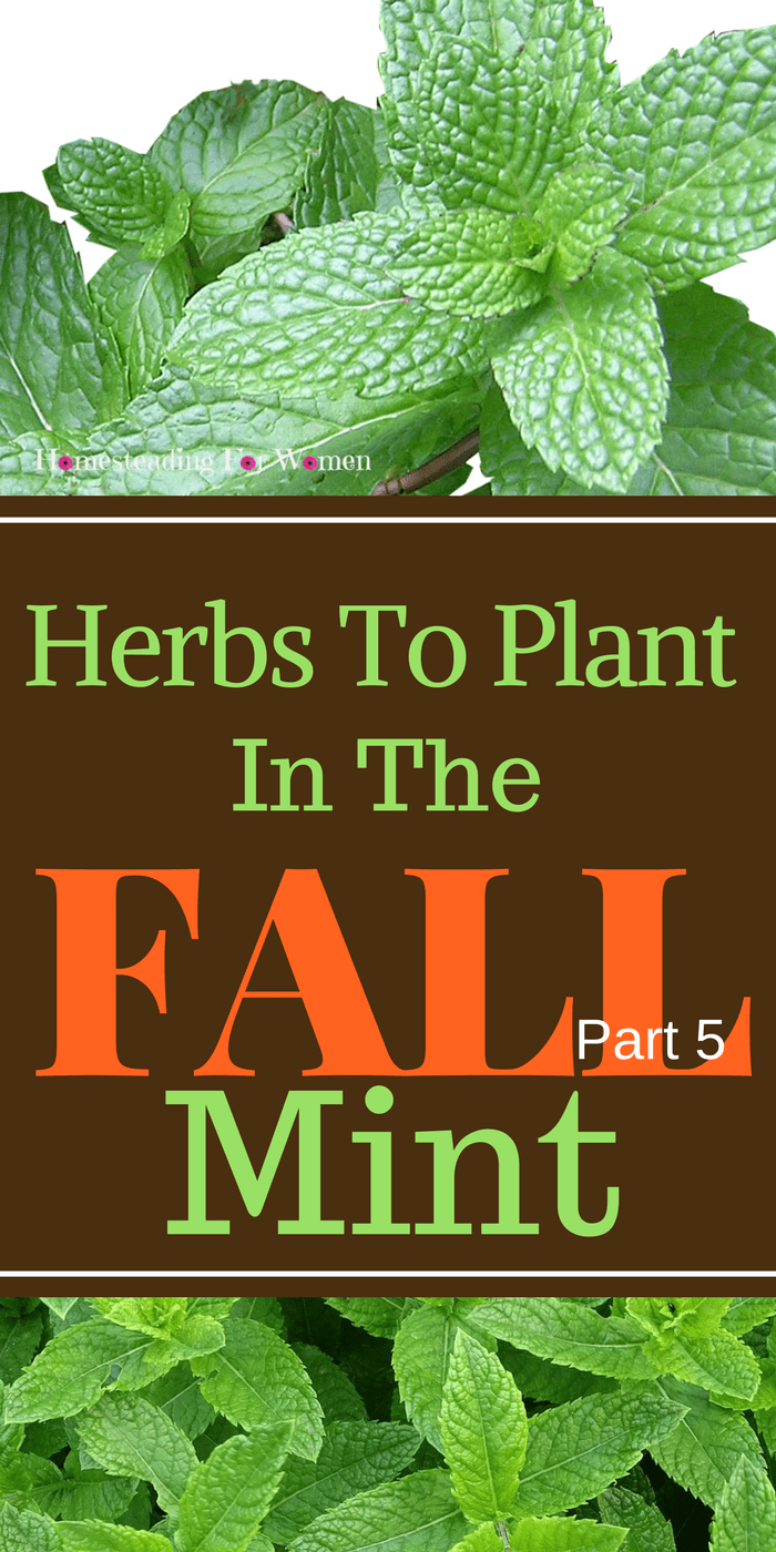 Herbs To Plant In The Fall Mint