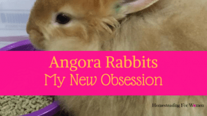 Angora Rabbits My New Obsession