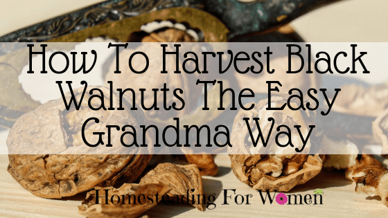 How To Harvest Black Walnuts The Easy Grandma Way