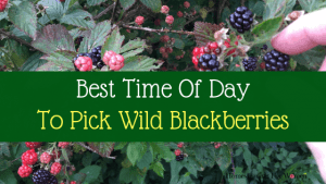 Best Time of Day To Pick Wild Black Berries (1)-min