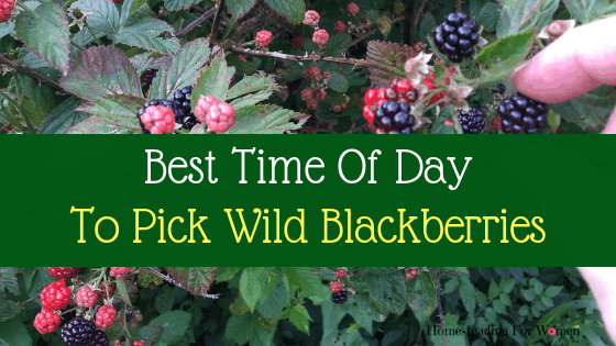 Best Time of Day To Pick Wild Blackberries
